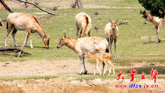 4月9日,在大丰麋鹿国家级自然保护区,一头刚出生3天的小麋鹿正依偎在妈妈身边。刚出生的小麋鹿身上长有100 多个梅花斑点,远远看上去像活泼可爱的小精灵若隐若现。据悉,4月份是麋鹿的产仔期,该保护区有不少孕鹿处于待产期,不久后又将有一群小鹿出生。
